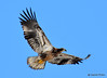 DSC_1985 Bald Eagle Mar 19 2015