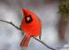 DSC_0423 Northern Cardinal Feb 6 2015