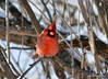 DSC_0169 Northern Cardinal Jan 21 2015