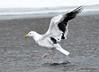 DSC_1868 Greater Black Back Gull Mar 1 2015