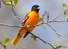 DSC_4273 Baltimore Oriole May 13 2015