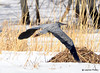 DSC_2497 Great Blue Heron Apr 3 2015