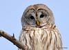 DSC_0405 Barred Owl Feb 6 2015