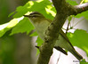 DSC_5125 Red-eyed Vireo May 29 2015