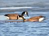 DSC_2983 Canada Geese Apr 17 2015
