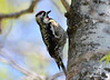 DSC_4474 Yellow-bellied Sapsucker May 14 2015
