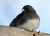 DSC_1480 Dark-eyed Junco Feb 23 2015
