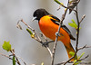 DSC_4265 Baltimore Oriole May 13 2015