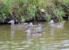 DSC_7381 Wood Ducks Aug 9 2015