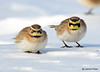 DSC_1701 Horned Lark Feb 26 2015