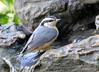 DSC_6412 Red-breasted Nuthatch June 24 2015