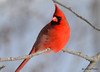 DSC_0434 Northern Cardinal Feb 6 2015