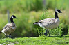 DSC_7402 Cackling Geese Aug 9 2015