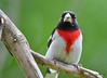 DSC_6693 Rose-breasted Grosbeak July 4 2015