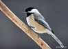 CSC_3944 Black-capped Chickadee Jan 11 2015