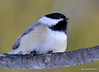 DSC_0448 Black-capped Chickadee Feb 6 2015