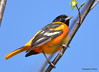DSC_4283 Baltimore Oriole May 13 2015
