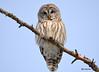 DSC_0406 Barred Owl Feb 6 2015