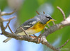 DSC_5106 Northern Parula May 29 2015