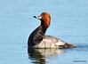 DSC_5792 Redhead Duck June 4 2015
