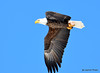 DSC_1978 Bald Eagle Mar 19 2015