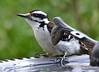 DSC_4898 Hairy Woodpecker May 22 2015