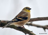 CSC_4001 American Goldfinch Jan 11 2015