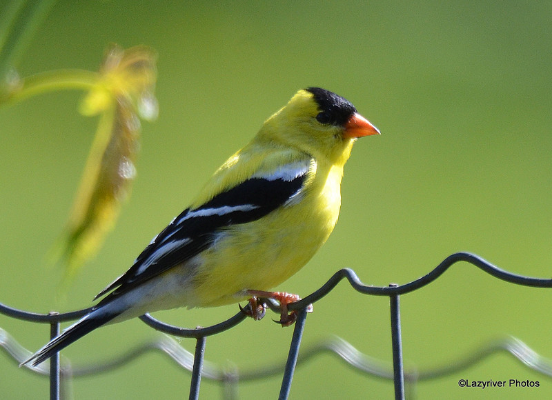DSC_5327 American Goldfinch June 3 2015