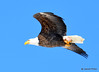 DSC_1980 Bald Eagle Mar 19 2015