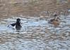 DSC_3000 Ring-necked Ducks Apr 17 2015
