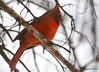 DSC_2588 Northern Cardinal Apr 8 2015