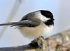 DSC_1470 Black-capped Chickadee Feb 23 2015