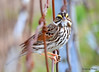 FSC_2903 Savannah Sparrow Oct 5 2015