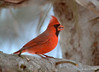 CSC_3998 Northern Cardinal Jan 11 2015