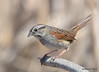 DSC_4149 Swamp Sparrow May 7 2015