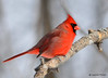 DSC_0419 Northern Cardinal Feb 6 2015