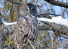 DSC_0480 Great Gray Owl Feb 6 2015