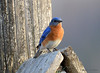 DSC_2992 Eastern Bluebird Apr 17 2015