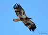 DSC_1989 Bald Eagle Mar 19 2015