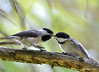 DSC_6589 Black-capped Chickadee July 3 2015