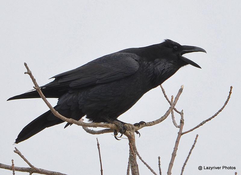 DSC_2669 Northern Raven Apr 9 2015