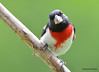 DSC_6698 Rose-breasted Grosbeak July 4 2015