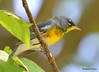DSC_5110 Northern Parula May 29 2015