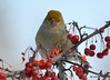 DSC_0514 Pine Grosbeak Feb 6 2015