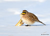 DSC_1690 Horned Lark Feb 26 2015