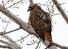 DSC_2625 Red-tailed Hawk Apr 9 2015