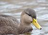 FSC_4307 American Black Duck Nov 20 2015