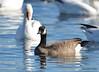 FSC_4068 Hutchins Goose Snow Geese Nov 4 2015