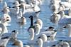 FSC_4063 Hutchins Goose Snow Geese Nov 4 2015