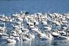 FSC_4057 Hutchins Goose Snow Geese Nov 4 2015